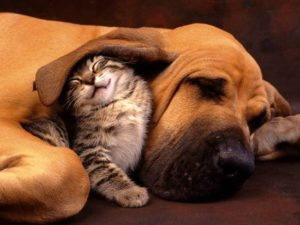 dog rests on the ground with adorable cat nuzzling under its large floppy ear
